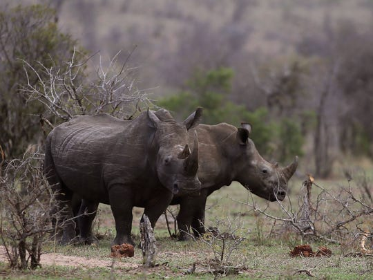 FILE - In this Oct. 1, 2016, file photo, rhinos graze