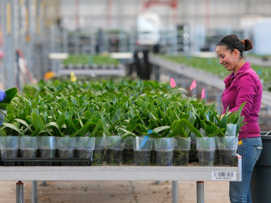 Fatima Acosta and Danelia Montoya pick out an order of orchids at Floricultura Pacific on Wednesday in Salinas.