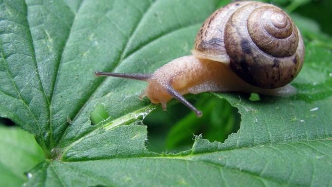 Snails will be making their presence known, munching on your favorite plants. Use snail bait or hand pick. This will help to prevent them from laying eggs and having a larger snail population later on.