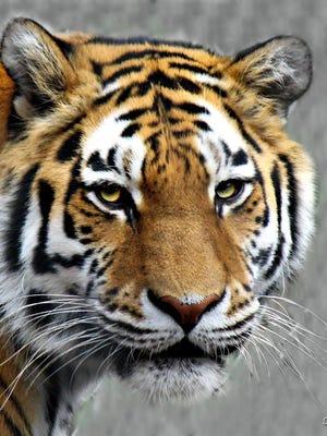 The Seneca Park Zoo announced the death of Anastasia, an Amur tiger, on Friday.