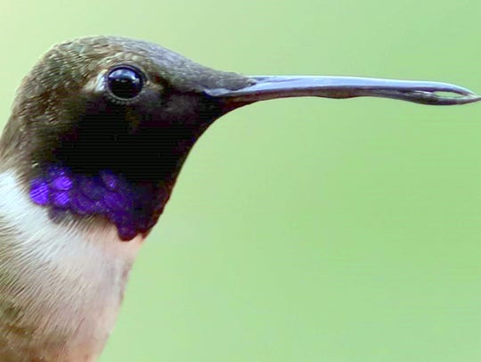 A blackchin male had a deformed bill, but seemed to