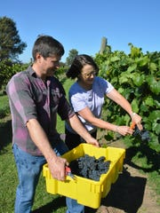 Jeff and Kay Stoeger harvest their new Petite Pearl grapes at their vineyard, Cold Country Vines and Wines.