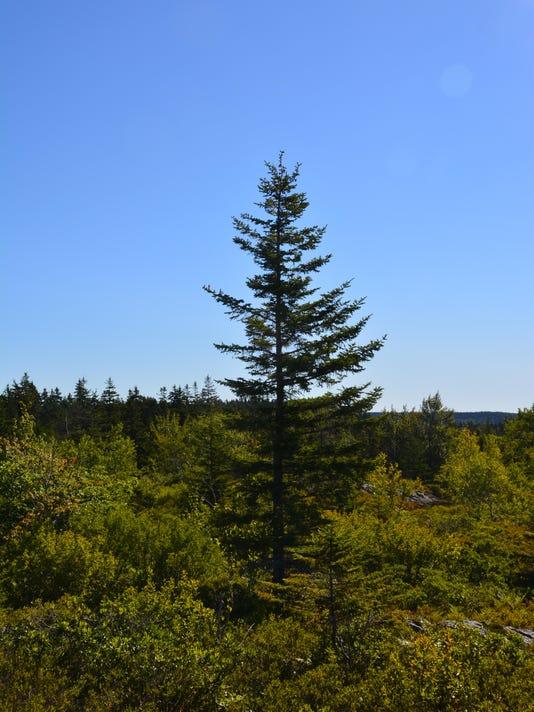 Red Spruce. Photo by David Chernack