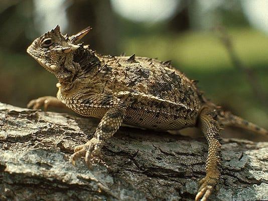 horned_lizardlarge.jpg