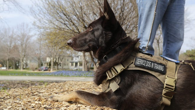 Loki, a PTSD service dog in training, lays at the feet of owner Warren Demmin of Sturgeon Bay on Thursday at St. James Park in Green Bay. Demmin, a Gulf War veteran, was paired with Loki through White Paws German Shepherd Rescue.
