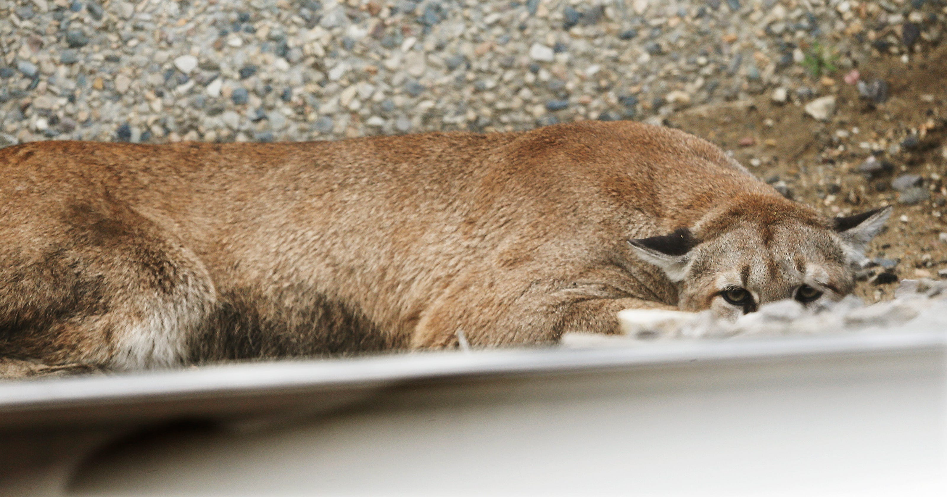 a240b65243240 Mountain lion captured at Utah shopping center dies