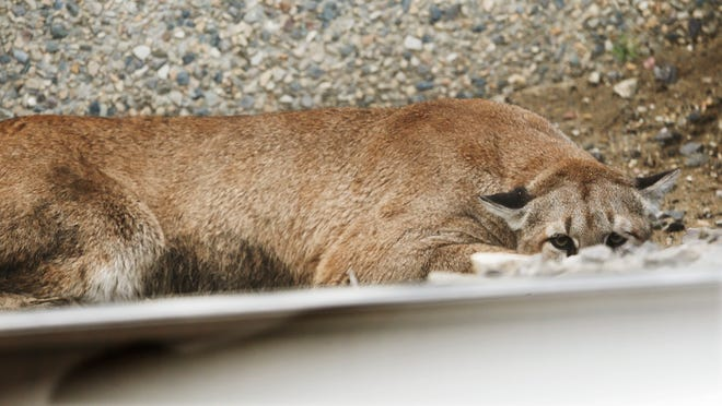 A cougar hides behind a UTA train track as Utah Division of Wildlife Resources try to tranquilize it after it strayed near Jordan Commons in Sandy, Utah  Friday, June 27, 2014.