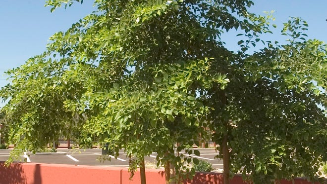 You probably see sissoo trees all over the Valley.