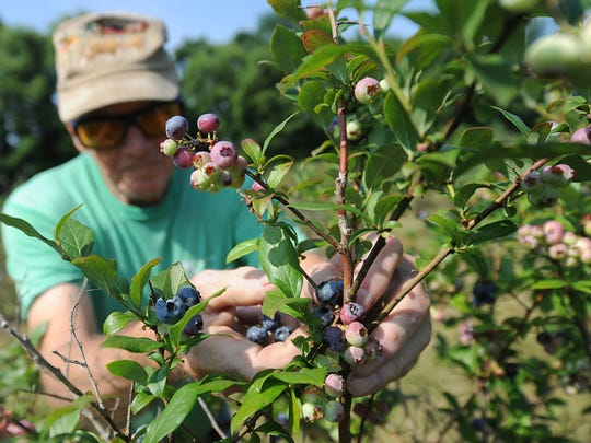 """""""Stanley Jordan of York Haven and his wife Loreen picked blueberries at Raven's Chestnut Sands Farm in Conewago Township on Friday, July 3, 2015.   Jason Plotkin - Daily Record/Sunday News"""""""