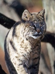 Wisconsin's bobcat population has grown to an estimated