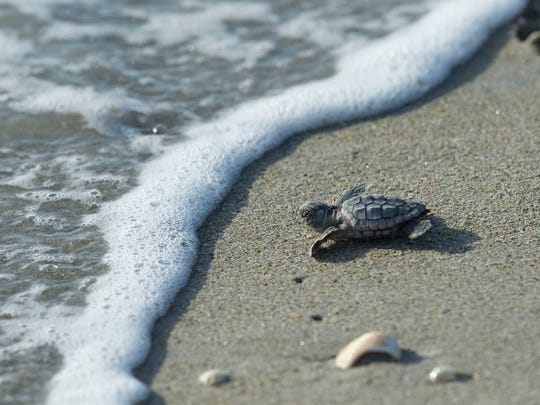 A loggerhead turtle hatchling crawls to the Atlantic