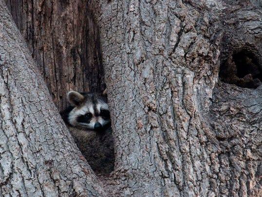 636585130013832210-raccoon.JPG