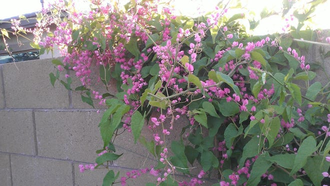 The vine you have in your photo is called the Coral Vine or Queen's wreath. Antigonon leptopus is a Mexican native that is a fast growing, colorful evergreen vine. This vine is a good bloomer in the lower deserts but does need supplemental irrigation for best success.