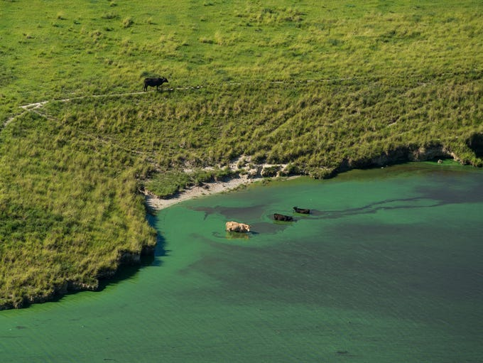 Cattle wades in the algae-covered C-44 Canal on Thursday,
