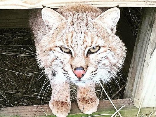 New bobcat at Wild Wings