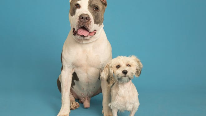 Tank the pit bull saved Roxie, a stray poodle found dying in Phoenix, with a blood transfusion. They are both looking for their forever homes.