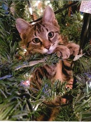 The Oak Harbor Public Library's first-ever Cutest Cat in the Land Photo Contest was won by Amy Driftmeyer, who captured her kitty Zoey climbing in a decorated Christmas tree.