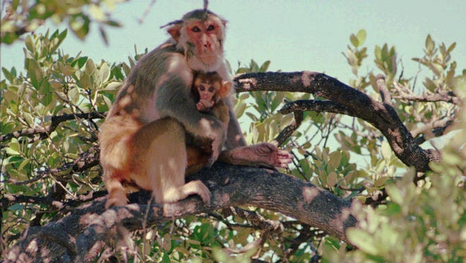 New sightings of rhesus macaques indicate that the primates are spreading out in Florida in ever-larger numbers.