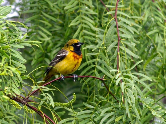 This young male Orchard Oriole was photographed in David Sikes Padre Isles backyard.