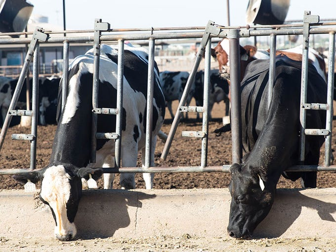 Dairy cows feed on the Kerr Family Dairy run by Sine