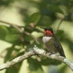 Ruby throated hummingbird.
