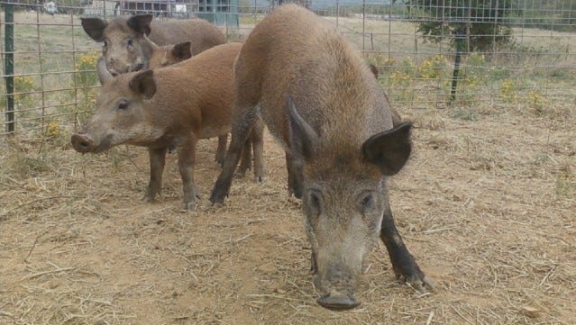 More than 9,300 feral hogs like these caught in a trap were killed in Missouri in 2018, according to MDC.