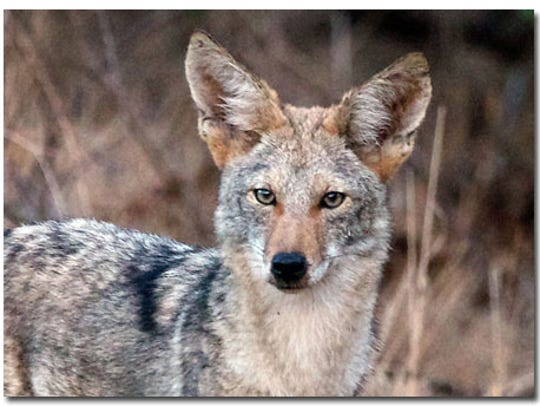 The state Senate has passed a bill that would ban contests to see who can shoot and kill the most coyotes.