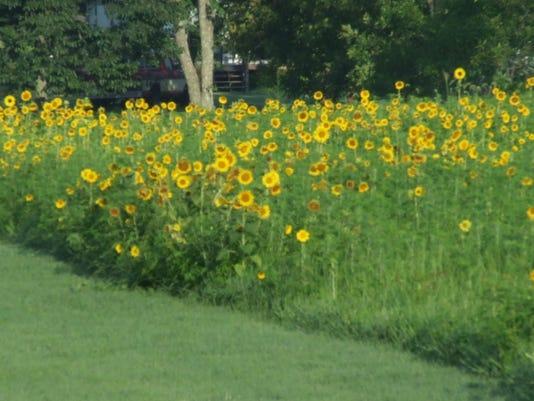 SH-sunflowers-0804 (2)