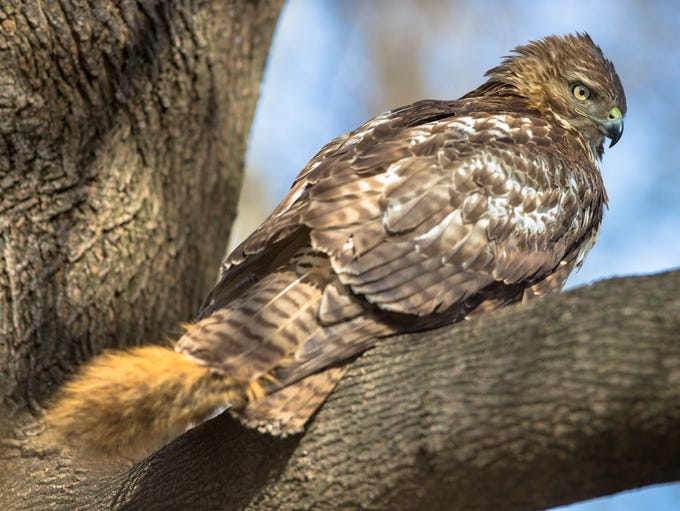 A bird of prey devours a squirrel who's tail sticks