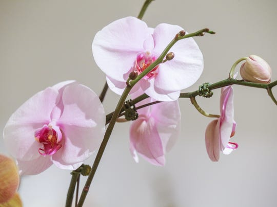 """A orchid sits for sale in the pop up shop at the Indianapolis Museum of Art at Newfields on Wednesday, Feb. 28, 2018. """"Orchids"""" at Newfields runs Feb. 9  through March 4, and includes a pop up shop, The Lilly House and the Madeline F. Elder Greenhouse."""