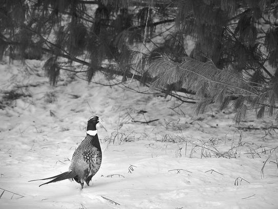 A rooster Chinese Ringneck pheasant keeps a sharp eye