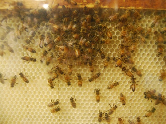 Bees cluster on the honeycomb near the top of a glass observation hive at the Pine River Nature Center.