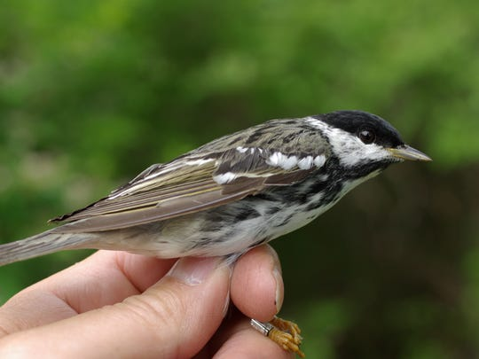 This what the blackpoll warbler looks like in the spring.