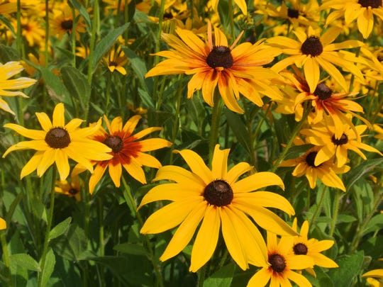 Rudbeckia, also known as Black-Eyed Susan, comes in a variety of colors and puts on a brilliant show in any landscape.
