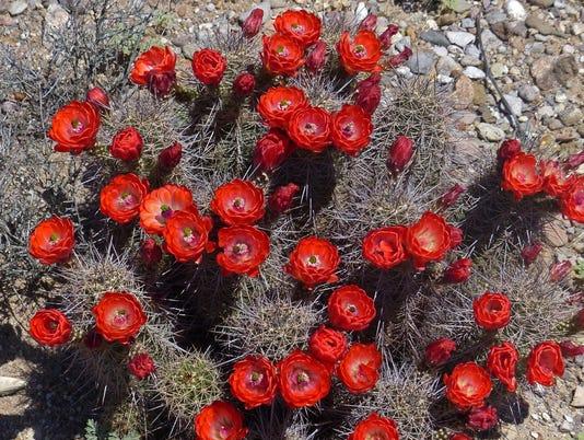 Claretcup-Cactus-2cjimmy-zabriskie.jpg