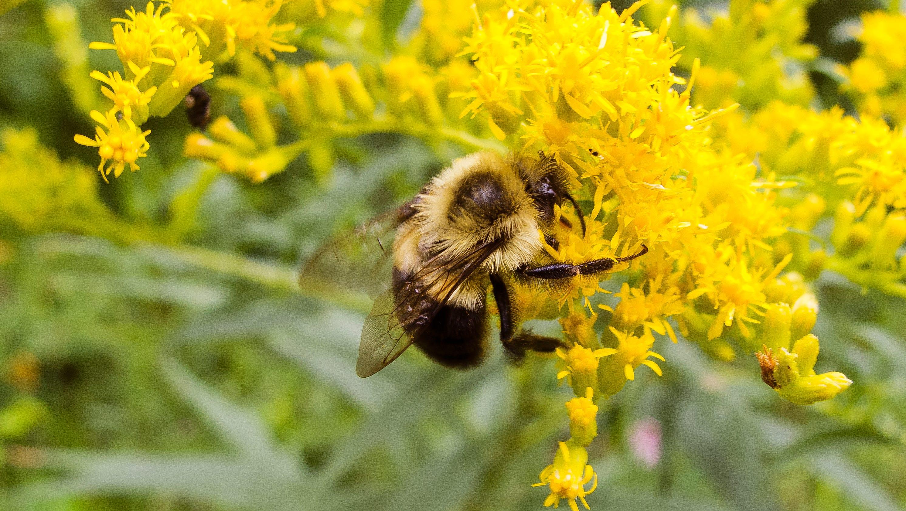 a bumblebee vanishes