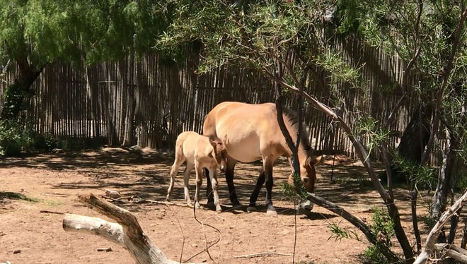 Misha, an endangered Asian Wild Horse, was born at the El Paso Zoo on April 25.