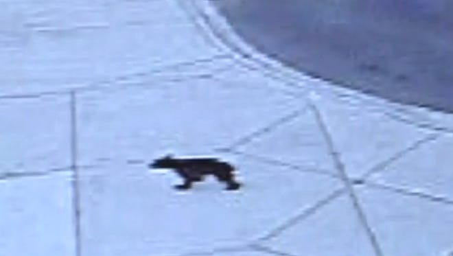 Black bear walking across the Mississippi State-Meridian campus caught on a surveillance camera.