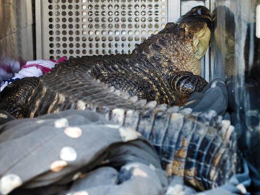 ODD Alligator Hot Tub