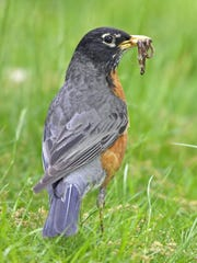 Holding a beak full of pulled earthworms, an American robin hops bouncily along through a suburban turfgrass lawn.