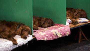 Irish setters sleep in their pens on the first day of the Crufts dog show at the National Exhibition Centre in Birmingham, central England. on March 5.