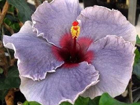 This year's show is the 65th annual for the Fort Myers club, which is the James E. Hendry Chapter of the American Hibiscus Society.