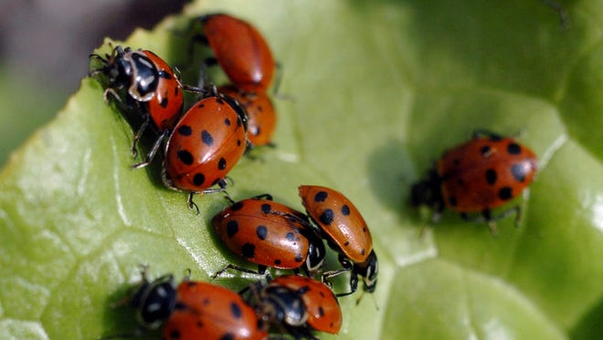 Seven Maryland students were accused of releasing thousands of lady bugs at their high school.