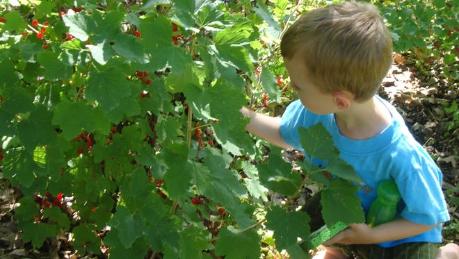 A child picks red currants in the Wetherby Park Edible Forest.