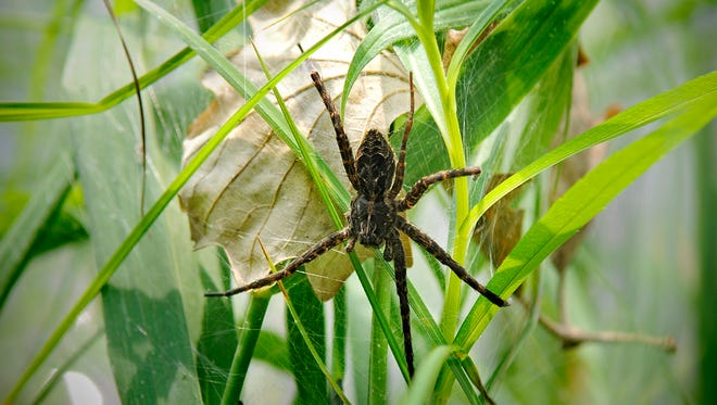 A fishing spider protects its leaf-covered eggs near the Sauk River in St. Cloud. Fishing spiders are the biggest of Minnesota's spiders.