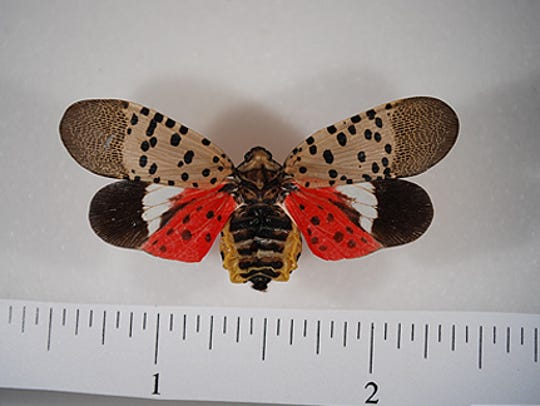 "The Spotted Lanternfly adult is approximately 1"" long"