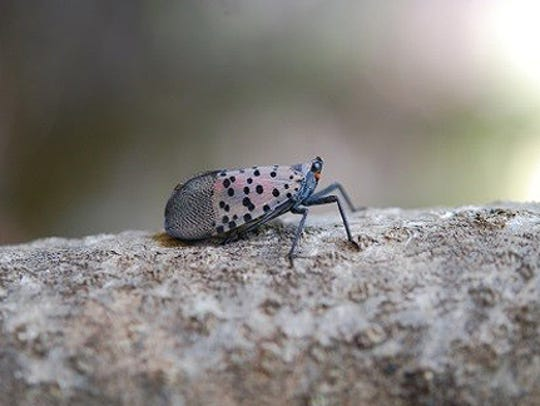 This is how the Spotted Lanternfly looks with its wings