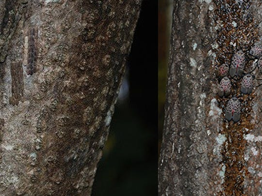 The Spotted Lanternfly and its eggs are not easy to spot on this tree.