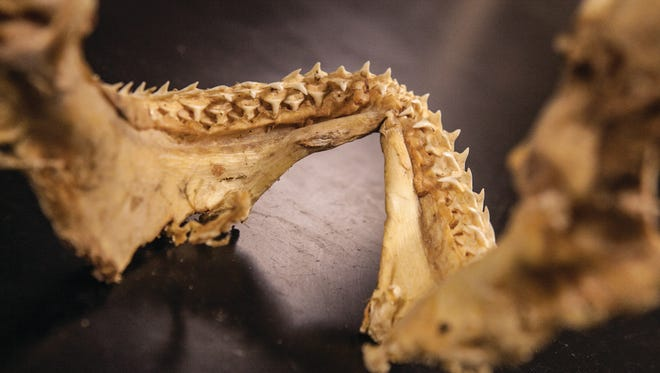 A jaw bone from a juvenile white shark in Professor Bryan Swig's lab at California Lutheran University.