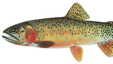 The Rio Grande cutthroat trout is one of two native species of trout found in New Mexico (The other native New Mexico trout specie we have is the Gila Trout which is only found in southern part of the state).